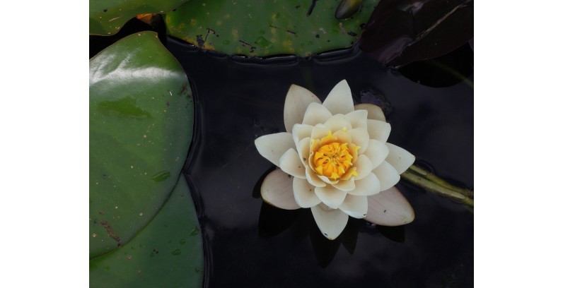 Ingredients in skincare: the lotus